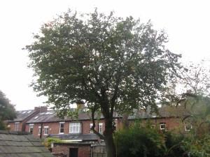 Tree-surgeon-Stockport-0798