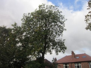 Tree-surgeon-Stockport-0804