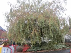 Tree-surgeon-Stockport-0808